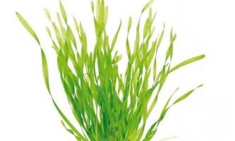 Валліснерія спіральна - як садити і містити