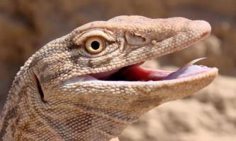 Варан - велика ящірка