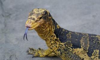 Варан кумінга - строкатий ящір