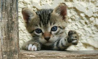 Ваша кішка лівша чи правша?