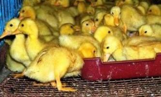 Вашим утятам тиждень - чому ж їх годувати?