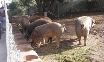 Важливі аспекти свинарства в невеликому господарстві
