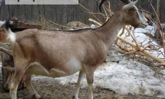Важливі моменти розведенням та утриманням кіз альпійської породи