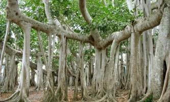 Великий баньян - дерево з найбільшою в світі площею крони