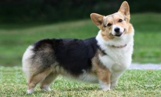 Вельш-коргі - собака з «низьким підйомом»