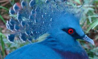 Вінценосний голуб: царська особа