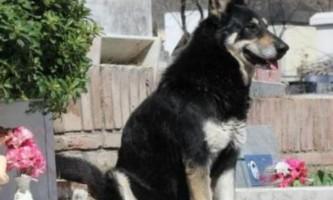 Вірний пес сам знайшов могилу господаря і вже 6 років мешкає на ній