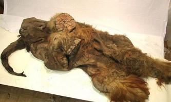 Ймовірно, мамонтеня юку переслідували печерні леви