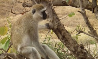 Верветка - карликова зелена мавпа