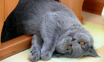 Вага британських кішок