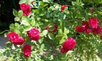 Весняний догляд за кущами троянд - розкриваємо всі секрети