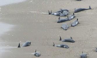 В японії близько 150 дельфінів викинулися на узбережжі