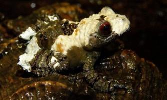 Весільного шорсткий - невелика тераріумів жаба