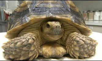 Ветеринари були вражені, дізнавшись, що черепаха проковтнула черепаху