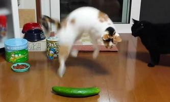 Ветеринари попросили припинити залякування котів огірками