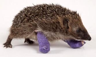Ветеринари врятували їжачка з вивернутими лапами