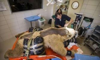 Ветеринари вперше в світі провели операцію на хребті ведмедя