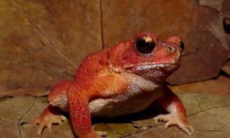 В`єтнамська гірська жаба - амфібія з червоною книги