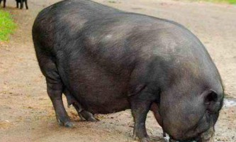 В`єтнамська вислобрюхая порода свиней