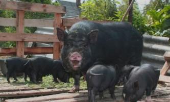 В`єтнамські вислобрюхие свині: особливості породи і походження