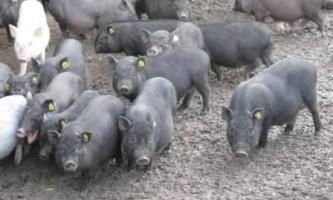 В`єтнамські вислобрюхие свині