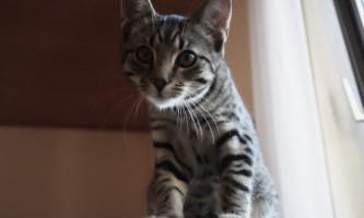 Ветом 1.1: інструкція для кішок