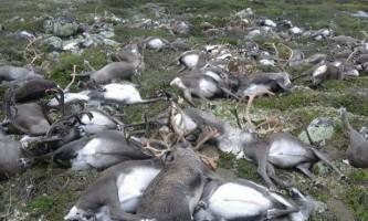 У норвегії від удару однієї блискавки загинули 323 оленя