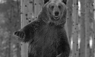 Відео «п`яного» ведмедя-танцюриста підкорює інтернет