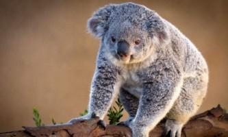 Відео з коалою, атакуючої квадроцикл, зібрало мільйон переглядів в мережі