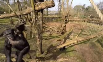 Відео сутички мавпи з безпілотником