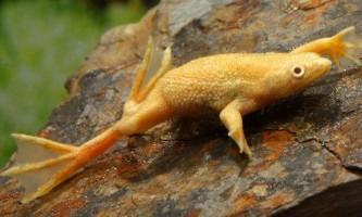 Види акваріумних жаб - хто уживається з рибками?