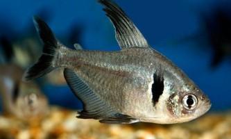 Види акваріумних рибок орнатус