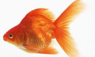 Золоті акваріумні рибки