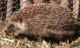 Види їжаків: різноманітність колючих звірків