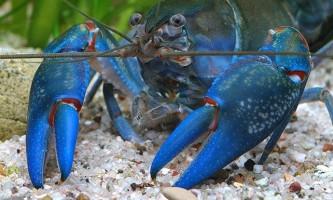 Види і зміст акваріумних раків