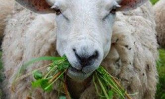 Види кормів, раціон і норми годування овець в домашніх умовах