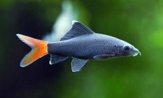 Види лабе для домашніх акваріумів