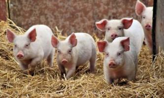 Види свиней: все про життя «рожевих п`ятачків»