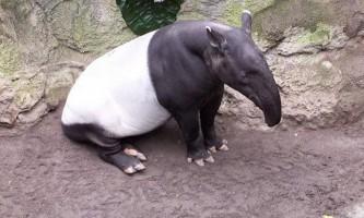 Види тапірів