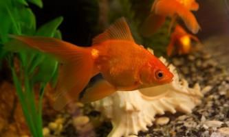 Види золотих рибок