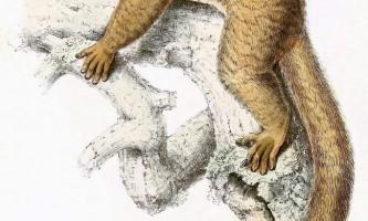 Вільчатополосий лемур - маленький мишачий лемур