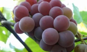 Виноград лидия: що робити взимку?