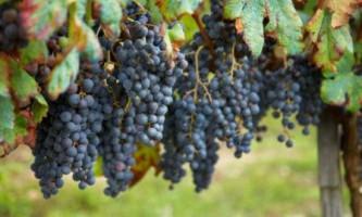 Виноградники як садити, доглядати