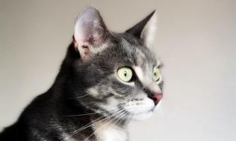 Вірусний імунодефіцит у кішок