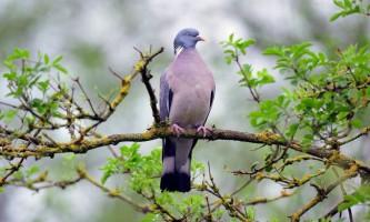 Припутень - різновид голубів