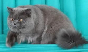 В`язка британських кішок: основні правила для власників