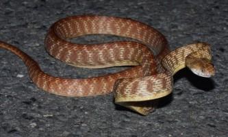 Влада острів гуам боротимуться зі зміями за допомогою отруєних мишенят
