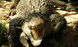 У флориді алігатор відкусив руку жінці під час купання