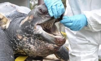 У роті шкірястої черепахи заховані сотні гострих шипів