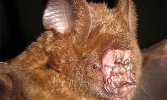У в`єтнамі виявлена кажан з незвичайною формою носа